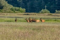 Elk herd seen on the road to the coast