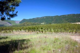 Ponderosa pine farm
