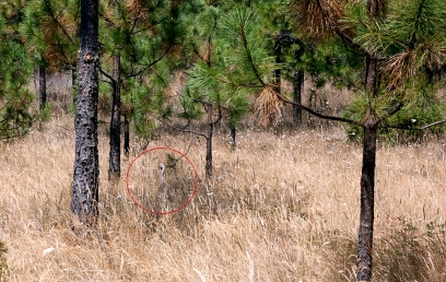 Turkey hiding in the bushes