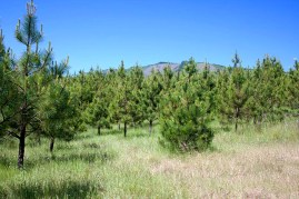 Close-up of the pine trees
