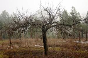 Apple Tree Winter1