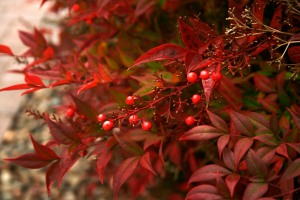 Red berries Winter