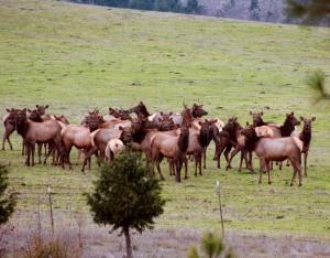 Dec Close-up Elk
