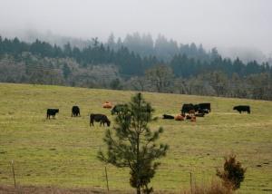 Dec Cows
