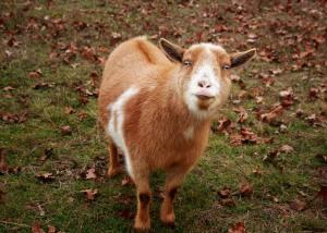 Dec Goat