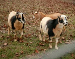 Dec Goats