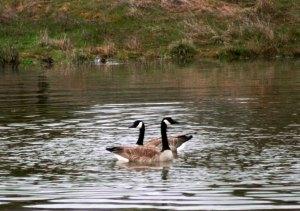 Canada Geese-Feb2014