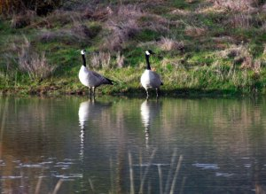 Canada Geese2-Feb2014