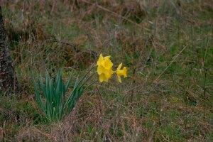 March 2014-Daffodils