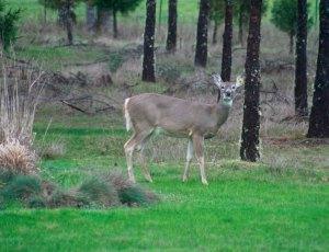 March 2014-Deer2