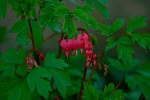 March 2014Lamprocapnos spectabilis (bleeding heart)poppy family Papaveraceae